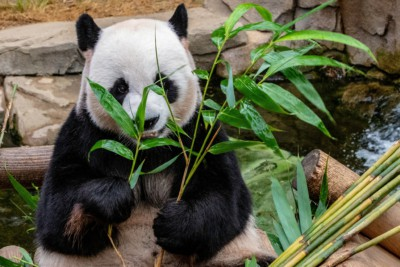 A panda eating lunch at Everland Zoo in South Korea