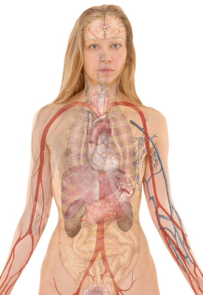 Human internal medical anatomy