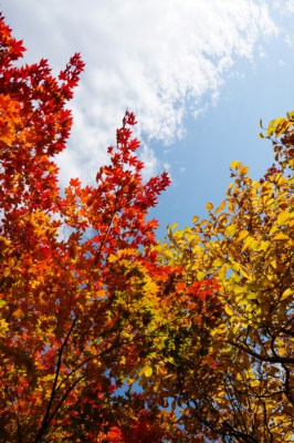 Beautiful red, gold and yellow coloured leaves on the trees at Mount Seorak during Autumn