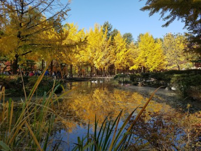 Gorgeous yellow leaves can be seen on Ginko Tree Lane from across a beautiful pond during Autumn