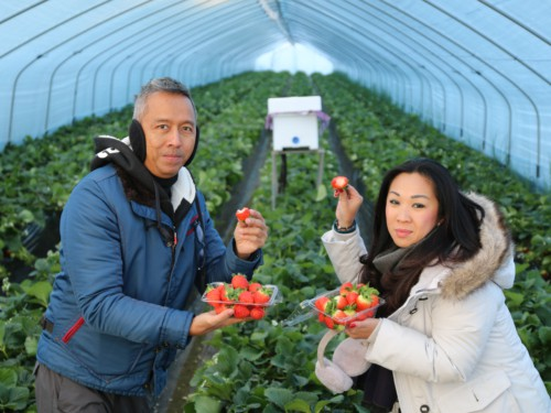 A couple picking strawberries during our Strawberry Farm tour