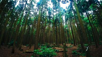 키 큰 나무와 녹색 잎이 많은 평화로운 사려니숲길