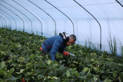 A man picking Korean strawberries inside a greenhouse on our Nami Island + Strawberry Picking tour