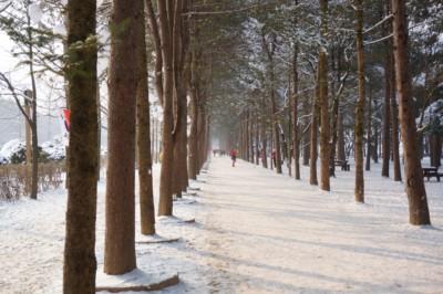 겨울 이불을 덮은 남이섬의 나무들