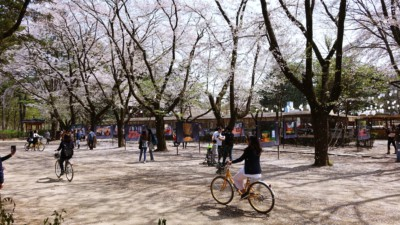 Stunning white Cherry Blossoms can be seen behind a girl riding a bike on Nami Island during Spring